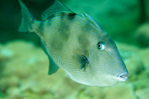 Gulf of Mexico Recreational Gray Triggerfish and Greater ...